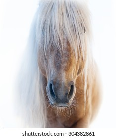 Palomino horse face with shaggy white forelock on white background