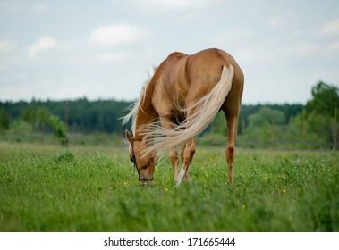 palomino Horse grazing in the pasture