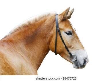 palomino horse head isolated on white