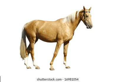 palomino horse isolated
