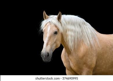 Palomino horse isolated on black background