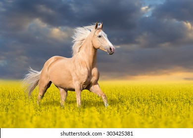 Palomino horse with long blond male on colza field