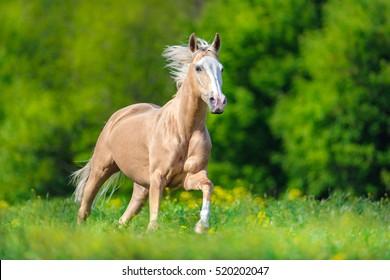 Palomino horse with long blond mane run on pasture