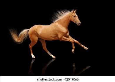 palomino horse on black