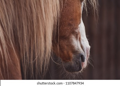 Palomino horse portrait, accent on a mane