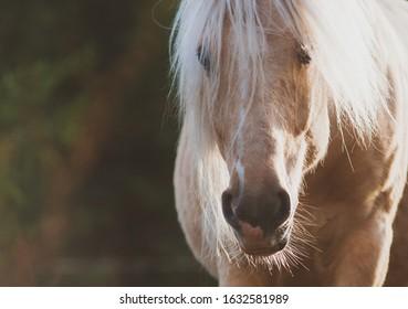 Palomino horse portrait in summer. Animal theme card. Long maned horse shot closeup