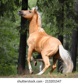 palomino horse rears up in a pine forest