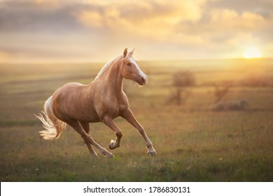 Palomino horse run gallop in meadow at sunset light