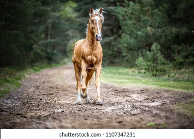 Palomino horse running free in a forest.