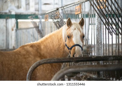 Palomino Horse Standing Inside a Barn Stall