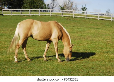A Palomino Mare Grazes Peacefully in a Summer Field