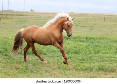 Palomino Morgan Stallion
