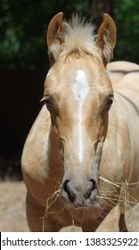 Palomino Quarter Horse colt staring straight at camera with ears pricked forward