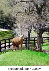 Palomino at the ranch