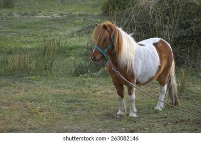 Palomino Shetland pony, Equus caballus, standing in grass