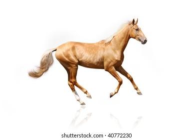palomino stallion isolated on white