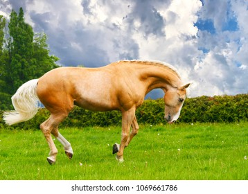 Palomino stallion plays in a meadow