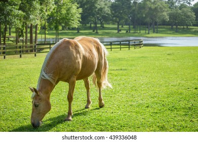 Palomino Tennessee Walker equine horse grazing eating in a sunny grassy field paddock pasture with lake and trees in background