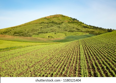The palouse farm land in Eastern Washington.  an emerging Garbanzo bean crop with the rows pointing toward steptoe butte.