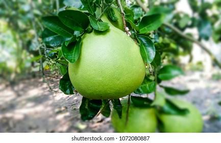 Pamelo fruit in the garden