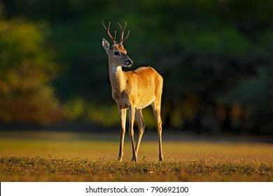Pampas Deer, Ozotoceros bezoarticus in the green grass, Pantanal, Brazil. Wildlife scene from nature. Deer in nature habitat.
