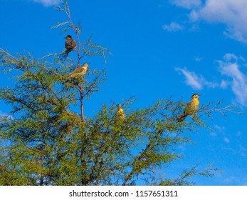 The pampas flicker (Colaptes campestris campestroides)