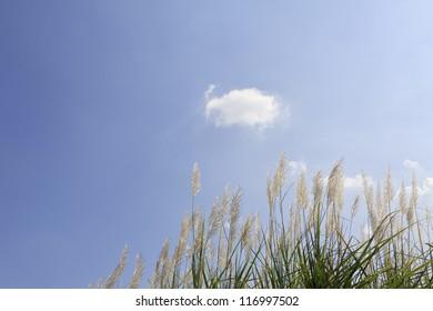 pampas grass against the blue sky
