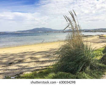 Pampas grass, Cortaderia selloana, growing on the edge of Sinas beach in Vilanova de Arousa, Spain