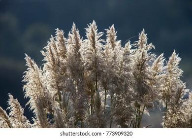Pampas Grass (Cortaderia selloana), seed heads, contr jour, Hayle, Cornwall, England, UK.