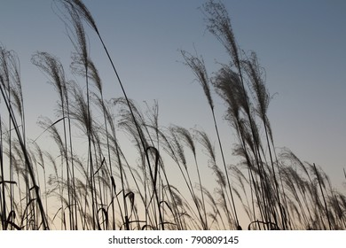 Pampas grass during the sunset in autumn, South Korea