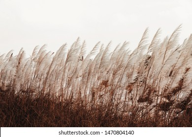 Pampas Grass , Feather Grass with ,Cortaderia selloana with retro style effect