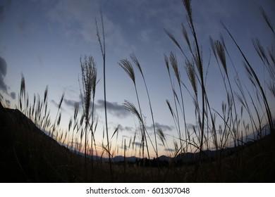 Pampas grass field at Soni Plateau. japan
