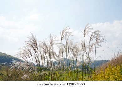 Pampas grass with giant goldenrod feild against the blue sky