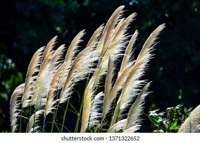 Pampas grass in oblique backlight, Atlantic coast of Uruguay