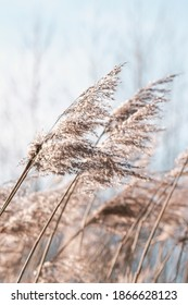 Pampas grass on the lake, reed layer, reed seeds. Golden reeds on the lake sway in the wind against the blue sky. Abstract natural background. Beautiful pattern with neutral colors. Selective focus