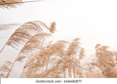 Pampas grass outdoor in light pastel colors. Dry reeds boho style