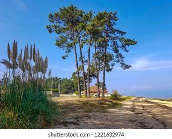 Pampas grass and pine trees in Sinas beach, Vilanova de Arousa