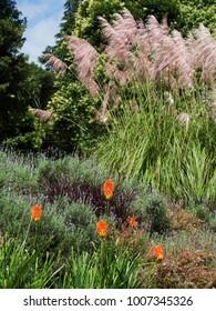 Pampas grass plant (cortaderia selloana)
