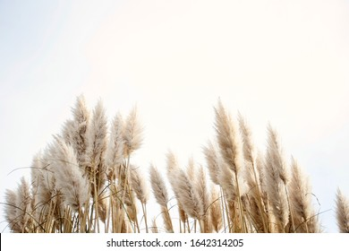 Pampas grass in the sky, Abstract natural background of soft plants Cortaderia selloana moving in the wind. Bright and clear scene of plants similar to feather dusters. beauty
