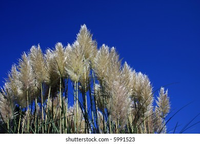 Pampas grass a very tall ornamental grass (gynerium argenteum) with a silvery-white silky panicle. it is a native of the pampas of south america. Photographed against a blue summer sky