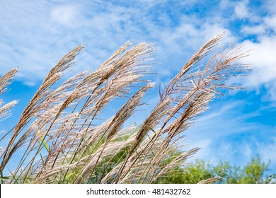 pampas grass in the wind on blue sky ,Hokkaido Japan.