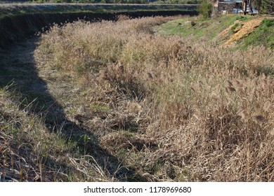 Pampas grasses on a riverbank