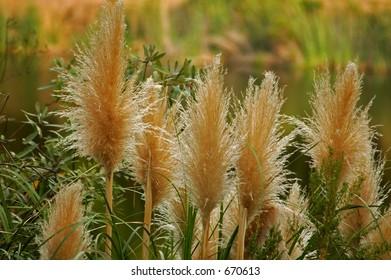 Pampass grass, Cortaderia selloana