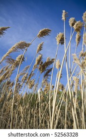 Pampass grass weeds blowing in wind against blue sky