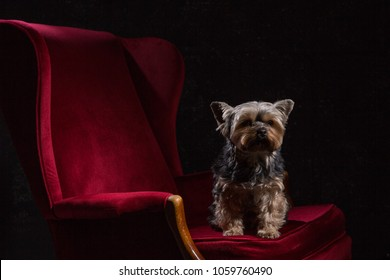 Pampered Yorkshire terrier sitting on a sumptuous dark red velvet armchair against a black background
