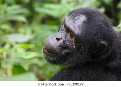 Pan troglodytes - A close up of the side of the head and face with scars of a commun eastern chimpanzee, sitting in the jungle of Kibale National Park, Uganda. The chimp is looking over its shoulder.