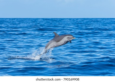 Pan tropical spotted dolphin, dolphin jumping in blue sea