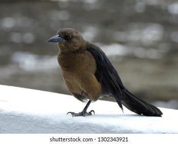 Panama City birds. Central America