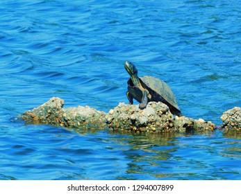 Panama City, Florida/United States - April 29, 2018: Florida Red-Bellied Turtle captured at Majette Park, Panama City, FL