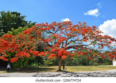 PANAMA CITY, PANAMA - MARCH 1, 2018: Delonix regia (flamboyant tree or flame tree) in Panama Viejo Historical Monumental Complex.
